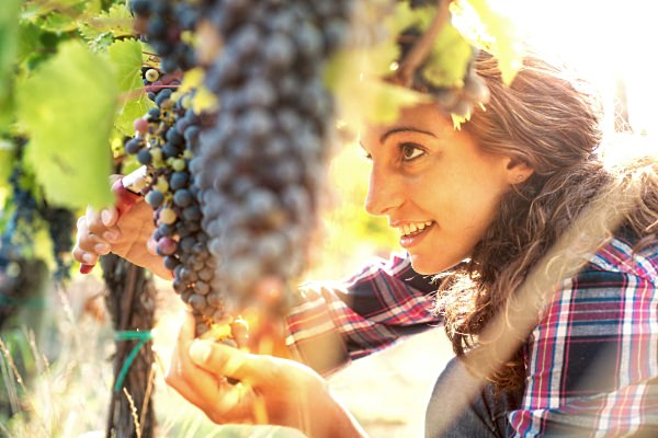 Young lady clipping grape vines.